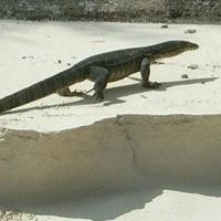 iguana-200x200