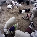 白いアルビノ動物『ALBINO ANIMALS』@セントラル・バンナー