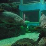 ワーゴー水族館(Waghor Aquarium)でゴリアテ・グルーパーを発見!
