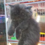 バンコクのペットショップ(子猫、子犬)価格相場 in タイ
