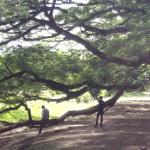 カンチャナブリの巨大樹(Giant Monkey Pod Tree)この木なんの木~♫